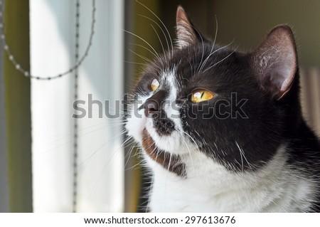British cats itting by the window - stock photo