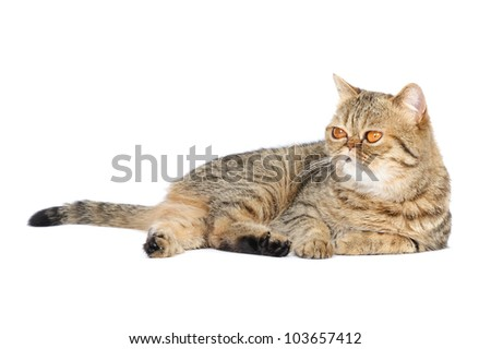 British exotic shorthair cat in studio on a white background