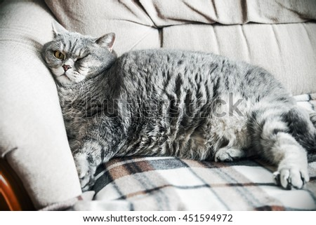 British fat cat lounging on the sofa asleep. cat look. Focus on the eyes. vignetting conceived as an artistic effect - stock photo