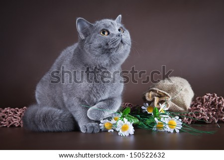 British fluffy kittens on a bright background