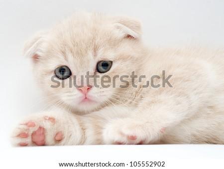 British Fold kittens - stock photo