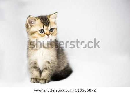 British gold chinchilla kitten