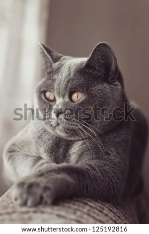 British gray cat lying in the window close up - stock photo