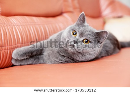 British gray cat lying on a red leather couch