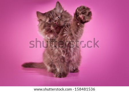 British kitten, cat pedigreed - stock photo