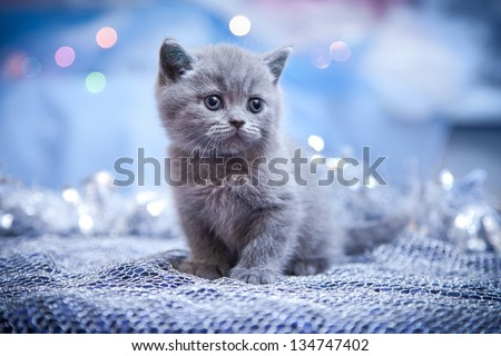 British kitten, Christmas and New Year - stock photo
