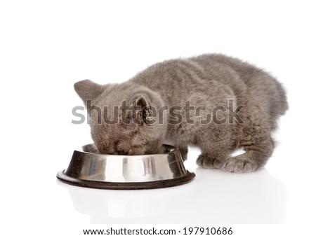 british kitten eating cat food. isolated on white background - stock photo