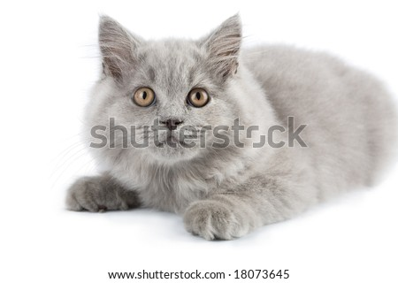 british kitten isolated - stock photo