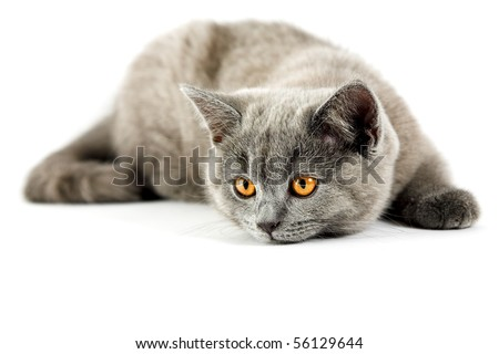 British kitten isolated on the white - stock photo