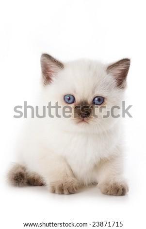 British kitten isolated on white - stock photo