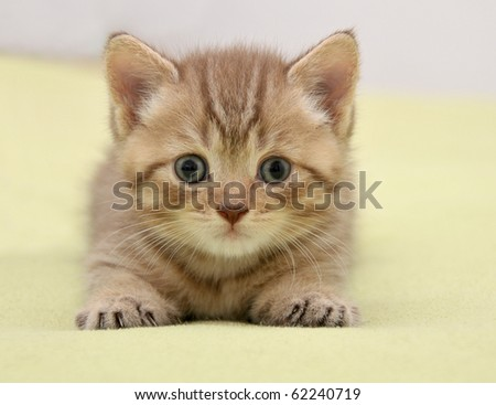 British kitten lying on green background - stock photo