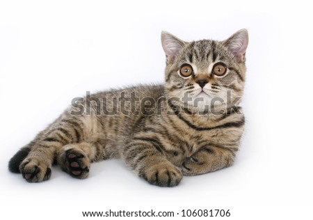 British kitten on a white background