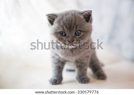 British Kitten, pet house, beautiful cat, Cheshire cat, cat view. - stock photo