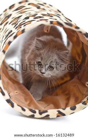 british kitten playing in tunnel isolated - stock photo