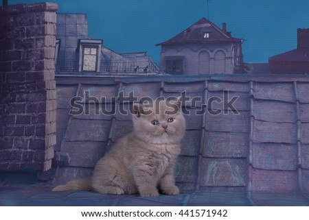 British kitten playing on the roof of a summer night - stock photo