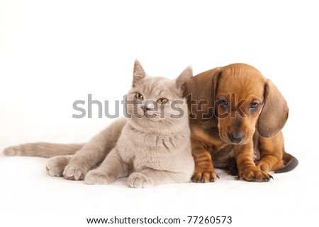 British kitten rare color (lilac)  and dog dachshund - stock photo