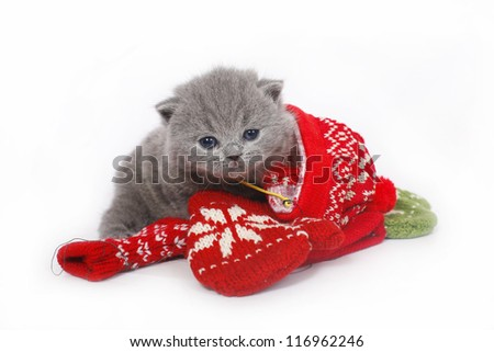 British kitten with mittens on a white background. - stock photo
