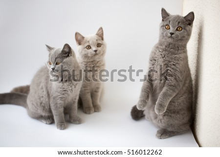 British kittens 3 months old on a white background