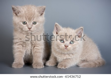 British kittens on grey backgrounds
