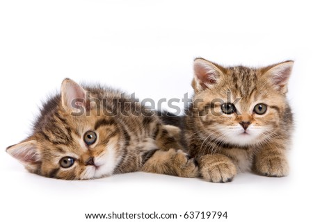 British kittens on white backgrounds