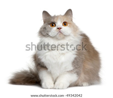 British longhair cat, 11 months old, sitting in front of white background - stock photo