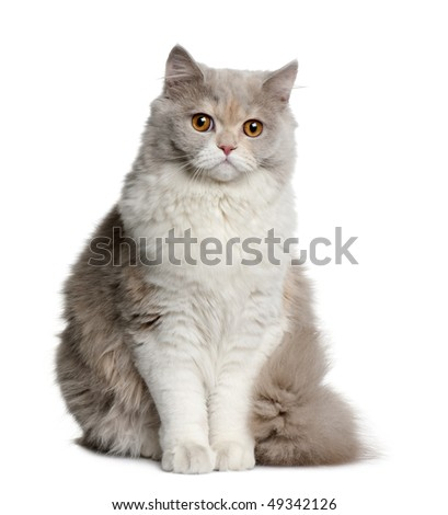 British longhair cat, 8 months old, sitting in front of white background - stock photo