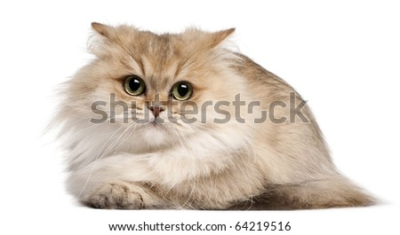 British Longhair cat, 3 years old, lying in front of white background - stock photo