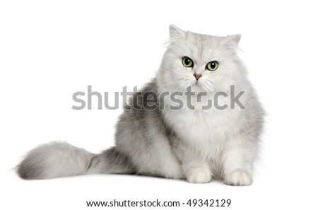 British longhair cat, 3 years old, sitting in front of white background - stock photo