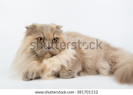 British Longhair isolated