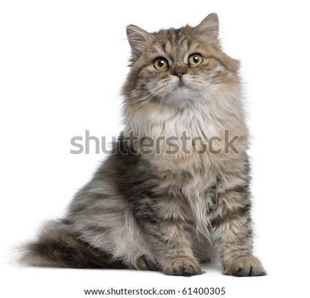 British Longhair kitten, 3 months old, sitting in front of white background - stock photo
