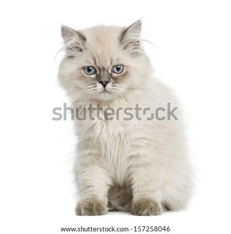 British Longhair kitten sitting, 5 months old, isolated on white