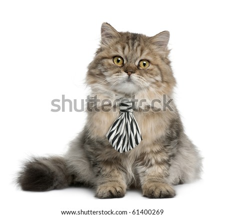 British Longhair kitten wearing a tie, 3 months old, sitting in front of white background - stock photo
