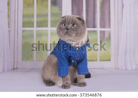 British lop-eared cat in clothes sit on the window