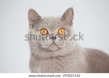 British shor-thair grey cat with big orange eyes isolated - stock photo