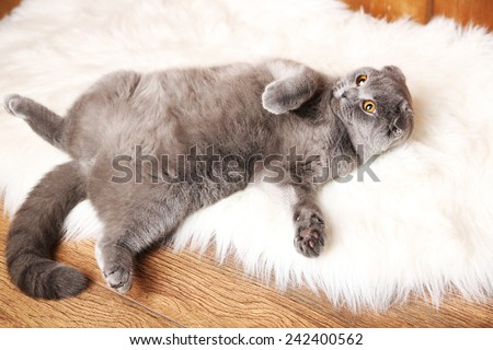 British short hair cat lying on back on fur rug on wooden background - stock photo