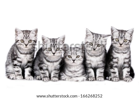 British short hair kitten isolated - stock photo