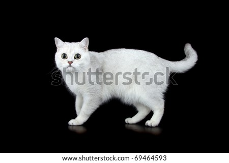 British Short Hair tipped cat - stock photo