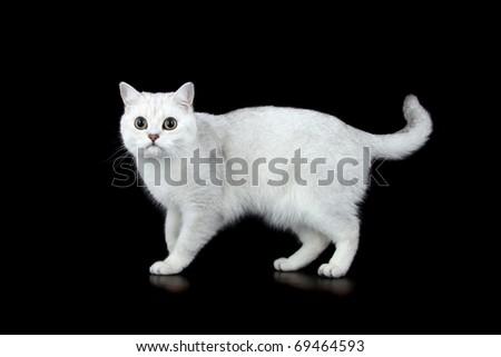 British Short Hair tipped cat - stock photo
