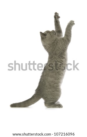 British short haired grey cat isolated on a white background - stock photo