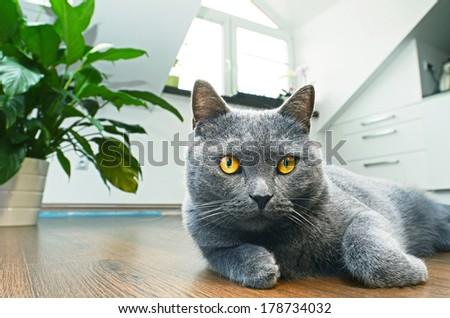 British Shorthair cat, - stock photo