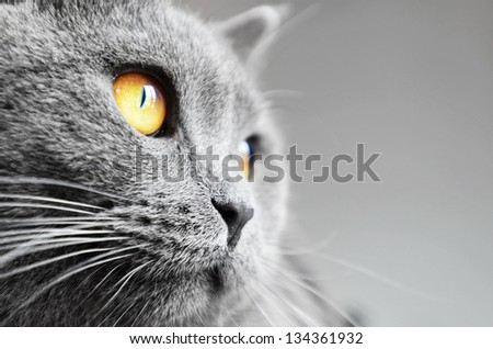 British shorthair cat detail (British Blue cat) - domesticated cat whose features make it a popular breed in cat shows. - stock photo
