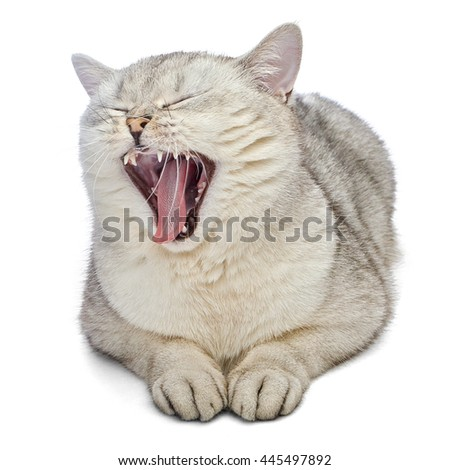 British Shorthair cat is yawning. Gray cat is lying and isolated on white background. - stock photo