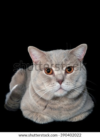 British Shorthair Cat Isolated on Black Background - stock photo