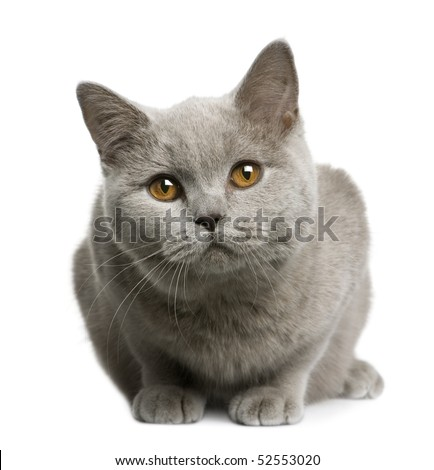 British shorthair cat, 7 months old, sitting in front of white background - stock photo