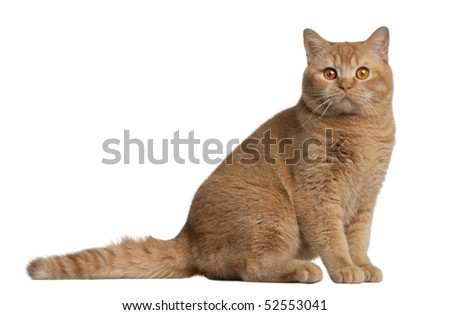 British shorthair cat, 9 months old, sitting in front of white background - stock photo