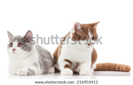 British shorthair cat on a white background. british cat isolated