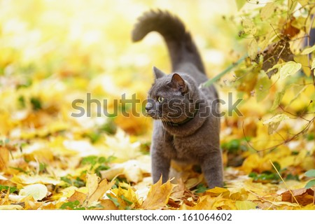 british shorthair cat outdoor walking in harness, autumn time - stock photo
