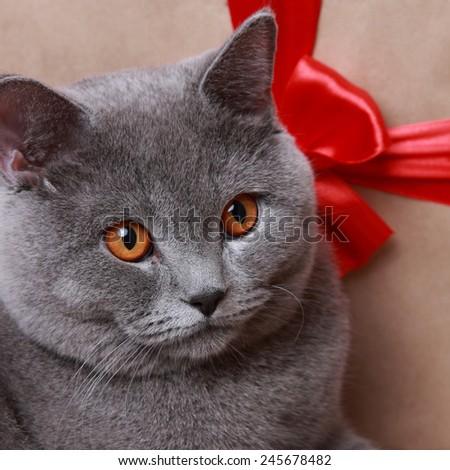 british shorthair cat over gift box - stock photo