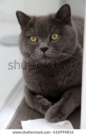 British shorthair cat playing with a piece of toilet paper in the bathroom