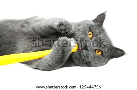 British shorthair cat playing with toothbrush, isolated on white background - stock photo